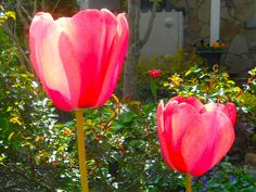 two tulips in the sun, may 2012 by rosanne maccormick-keen, via Flickr