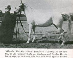 Ghazals 1896 gr.m. Ibn Sherara x bint Helwa by Aziz bred by Ali Pasha Sherif