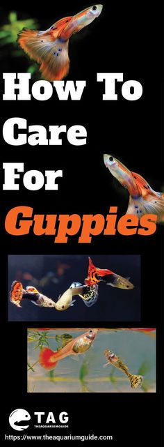 Caring for guppies can be easy as it is one of the low maintenance fish for beginners. But if you are looking into breeding it and more, you should check out this post. #AquariumFishTankMaintenance