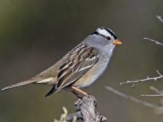 Zonotrichia leucophrys - Bruant à couronne blanche - White-crowned Sparrow