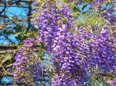 Bolusanthus speciosus - Google Search Wisteria, Trees To Plant, Garden Inspiration, Green And Grey, Shrubs, Flowers, Plants, Google Search, Florals