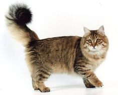 Siberian Cats :: Sibaris Cattery :: Our Cats