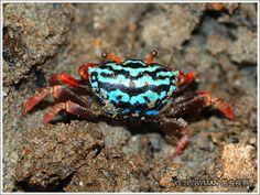 Watermelon Fiddler Crab (Uca crassipes) Habitat: Western Pacific – China, Japan, Philippines, Thailand, Indonesia, Papa New Guinea, Melanesia, Micronesia