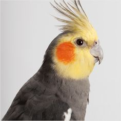My neighbor has a cockatiel & cage that she's giving away for free, and I'm considering taking him when I move.
