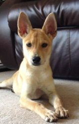 Christy is an adoptable Carolina Dog Dog in Pelham, NH. Christy is a 3 mo Carolina dog/Shiba Inu mix. Christy is a 10lbs of pure love!! She is a beautiful lil pup who is full of spunk. This lil gal ha...