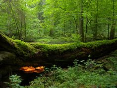 Białowieża Forest, Poland- one of the last primeval forests in Europe