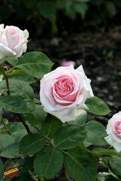 'Frontier Twirl' | Shrub rose. Bred by Dr. Griffith J. Buck (United States, 1984). | Flickr - © fotoproze
