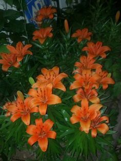 Tiger Lilies, maybe? These are live but an absolute beautiful orange