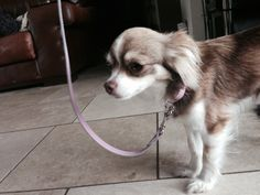 Tira in a pink soft leather collar and lead #happydog #dog