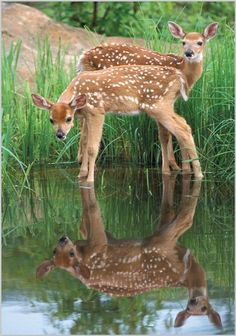 White Tail Deer Fawns at a Stream. Nature Animals, Animals And Pets, Beautiful Creatures, Animals Beautiful, Deer Photos, Deer Family, Tier Fotos, Baby Deer, Woodland Creatures