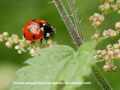 Mes nouvelles photos #nature en île de France. La première : une petite #coccinelle