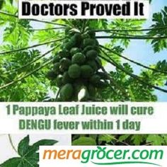 It could be a miracle cure for dengue. Visit our Page -► ツ Amazing Facts & Nature ツ ◄- For more. The juice of the humble papaya leaf has been seen to arrest the destruction of platelets that has Natural Health Remedies, Natural Cures, Herbal Remedies, Home Remedies, Natural News, Natural Healing, Papaya Juice, Green Papaya, Dengue Remedies