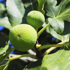 If fig trees don't get enough water during prolonged droughts, they may drop their fruit. Fruit Trees, Trees To Plant, Planting In Sandy Soil, Growing Fig Trees, Plant Zones, Organic Compost, Soil Ph, Tree Roots, Gif Of The Day