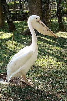 Albino Pelican - Bing Images