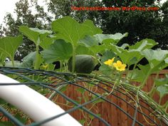 growing cantaloupe vertically – The Fervent Gardener Planting Cantaloupe, Growing Cantaloupe, Growing Melons, Growing Vegetables, How To Grow Cantaloupe, Vine Trellis, Garden Trellis, Vine Fence, Growing Squash