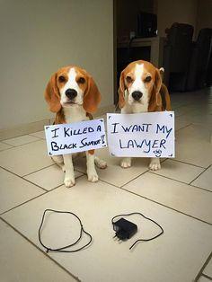 Marie & Louie the Beagle https://www.facebook.com/beaglelouie?fref=nf #Beagle
