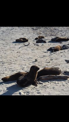 The sandy shores of The Galápagos Islands act as the perfect sea lion nursery