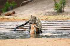 Leopard with impala kill at De Laporte waterhole in the Kruger Park Kruger National Park, National Parks, Cool Pictures, Cool Photos, Cat Activity, Male Lion, Most Beautiful Animals, Rare Animals, Wild Dogs