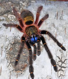 Ephebopus cyanognathus Blue fang tarantula (ugliest one) Creepy Animals, Cute Animals, Beautiful Creatures, Animals Beautiful, Pet Tarantula, Sea Spider, Spider Species, Reptile Room, Insects