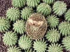 13 Hedgehogs Next To Things That Look Like Hedgehogs