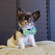 Singapore | Dog Harness | Personalized Dog Bandana | Custom Bowtie Cat Bow Tie, Bandana Bib, Pet Tags, Dog Harness, Dog Accessories, Singapore, Husky, Dog Cat, Corgi
