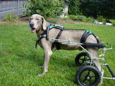 Supporto imbracatura per cani con displasia dell'anca Support harness for dogs with hip dysplasia