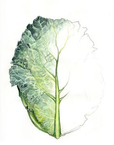 cabbage study 6 by Amy Holliday