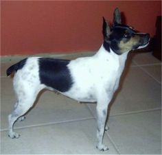 MINI FOX TERRIER Fox Terrier puppies for sale Macarthur