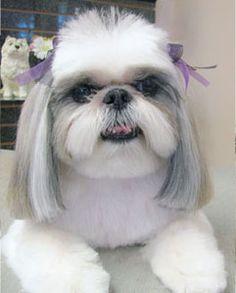 shih tzu puppy cut pictures - Google Search