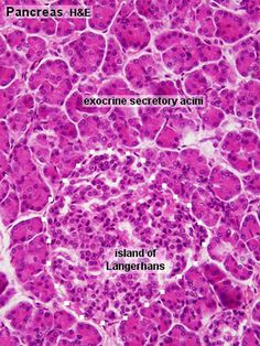 pancreas histology | bladder pancreas histology stains histology git development histology ...