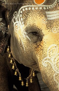 i want to go to india! Indian Elephant (by chrismellor) Elephant Love, Elephant Art, African Elephant, Elephant Quotes, Elephant India, Elephant Poster, African Animals, Beautiful Creatures, Animals Beautiful