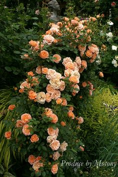 """Sweet Dream"" beautiful climbing roses!"