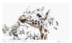"""Gentle Spirit"" {Wildlife Collection} by Francoise V Photography Gallery, Fine Art Photography, Cape Town, Beautiful Creatures, Giraffe, Art Gallery, Wildlife, Africa, Spirit"