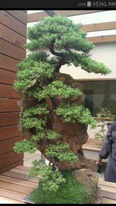 Are you interested in getting an indoor bonsai tree? If you are, then you definitely need to learn about how you can take good care of your tree. Ficus Bonsai, Juniper Bonsai, Indoor Bonsai Tree, Bonsai Plants, Bonsai Garden, Indoor Plants, Large Bonsai Tree, Ikebana, Plantas Bonsai