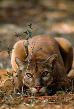 Go ahead.  Move.  I dare you.  (Mountain lion)