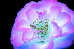 This photographer takes photos of flowers and plants using UV-induced visible fluorescence, and the results are beautiful - DIY Photography Flower Images, Flower Photos, Flower Art, Uv Photography, Kirlian Photography, Conceptual Photography, Creative Photography, Glowing Flowers, Colossal Art