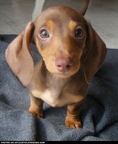 """This sweet guy is a 10 week old Doxie puppy named Gizmo, a cute little pup with big ears!"""
