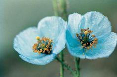 Himalayan Blue Poppy Photograph