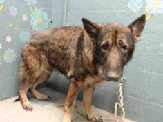 ADOPTED ✨❤️6-2-17 Lancaster CA - #A5047591 per a comment on thread scored an A on evaluation!!  I don't have a name yet and I'm an approximately 10 years, 1 month old male germ shepherd. I am already neutered. I have been at the Lancaster Animal Care Center since April 6, 2017. I am available on May 25, 2017. You can visit me at my temporary home at L113.Lancaster Animal Care Center, CA (661) 940-4191