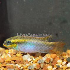... save learn more at m liveaquaria com masked julie cichlid group of 3