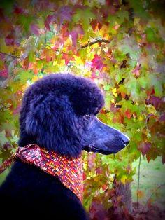 purple poodle opawz.com  supply pet hair dye,pet hair chalk,pet perfume,pet shampoo,spa....