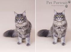Kattenfotograaf Noordwijk - Drie Maine Coon Katten-13