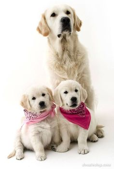 Awww, darling! Sweet Golden Retrievers  #pink #white