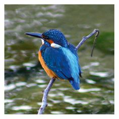 Google Image Result for http://www.theora.com/images/kingfisher.jpg