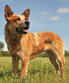 Explore many types of pets to find the right match. Research adoption, breed characteristics, & pet care. Best Farm Dogs, Mans Best Friend, Best Friends, Australian Cattle Dog, Pet Care, Dog Breeds, Corgi, Cattle Dogs, Puppies