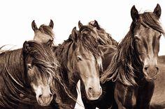 The Wild Horses of Sable Island: Roberto Dutesco: 9783832798499: Amazon.com: Books