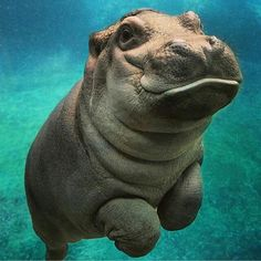 """Instagram Art Featuring Page on Instagram: """"Follow @fantastic_earth for more amazing photos of places and animals @fantastic_earth @fantastic_earth _ Baby hippo  By @sandiegozoo"""""""