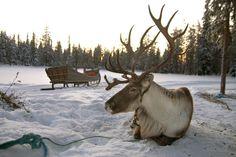 Rendier-sneeuw-lapland