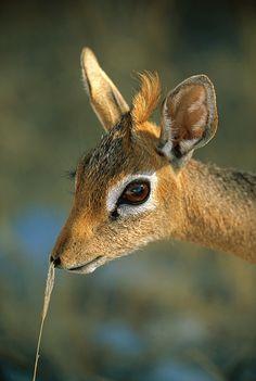Kirk's Dik-dik (Madoqua kirki), profile, side view, Etosha National Park…