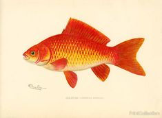 This chromolithograph of a beautiful Goldfish (Carassius Auratus) was created byåÊartist S. F. Denton (Sherman Foote) born in 1856 and died in 1937 Well known for his exquisite drawings of fish, birds